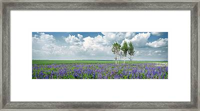 Lupine Blooming. Rohizky, 2015. Framed Print