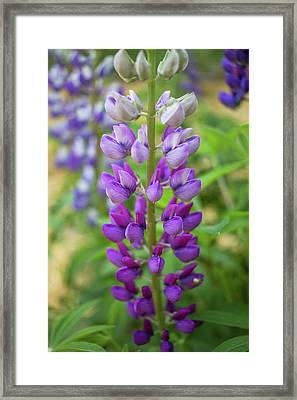 Framed Print featuring the photograph Lupine Blossom by Robert Clifford