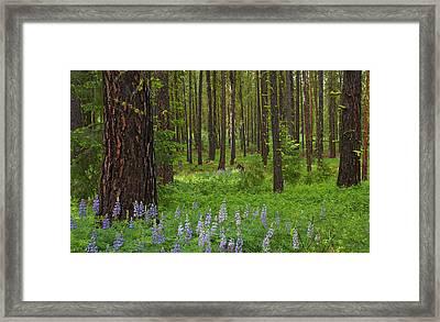 Lupine Carpet Framed Print by Mike  Dawson