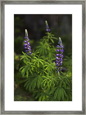 Lupine Framed Print by Chad Dutson