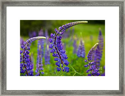 Lupine Curves Framed Print by Susan Cole Kelly