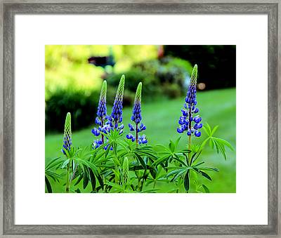 Lupine Dream Framed Print by Laurie Breton