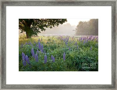 Lupine Field Framed Print