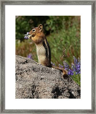 Lupine For Lunch Framed Print by Paula Fink