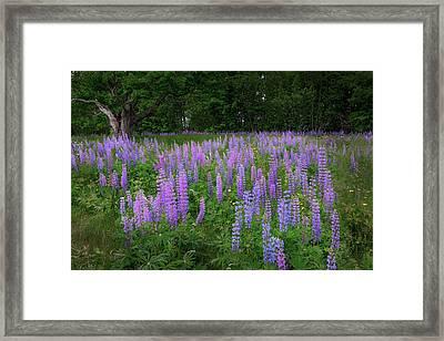 Lupine Glow Framed Print by Bill Wakeley