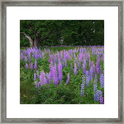 Lupine Glow Square Framed Print by Bill Wakeley