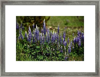 Lupine In Montana 2 Framed Print