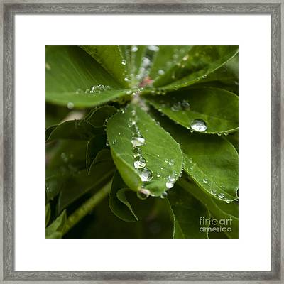 Lupine Leaves With Water Drops - Sq Framed Print by Mandy Judson