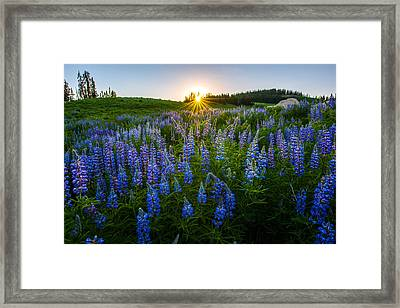 Lupine Meadow Framed Print