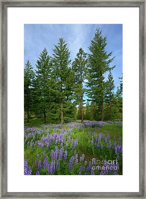 Lupine Meadow Framed Print by Mike Dawson