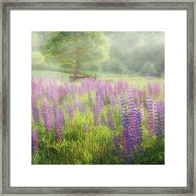 Lupine Morning Square Framed Print