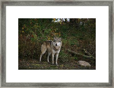 Framed Print featuring the photograph Lupine Pose by Shari Jardina