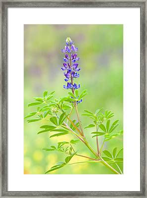 Framed Print featuring the photograph Lupine by Ram Vasudev