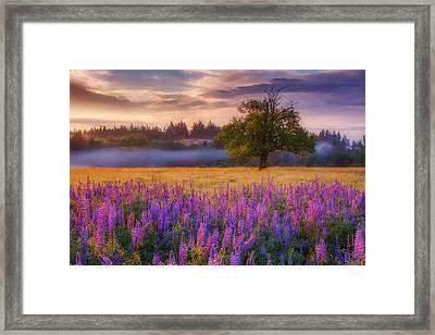 Lupine Sunrise Framed Print by Darren White