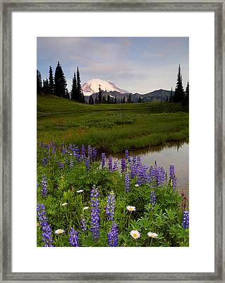 Lupine Sunrise Framed Print by Mike  Dawson