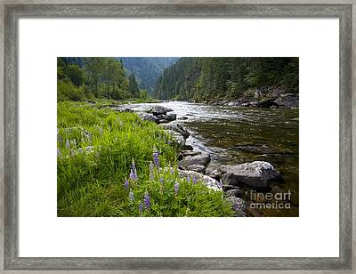 Lupines At Dawn Framed Print