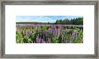 Lupines At Lake Tahoe Framed Print