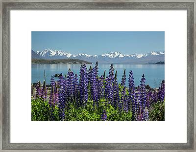 Framed Print featuring the photograph Lupines At Lake Tekapo by Cheryl Strahl