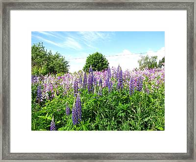 Lupins And Flocks Framed Print by Melissa Parks