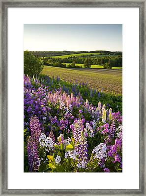 Lupins And Phlox Flowers, Clinton Framed Print by John Sylvester