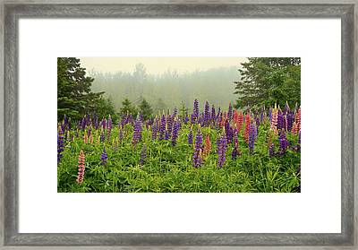 Lupins In The Mist Framed Print
