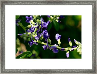 Lupinus Latifolius 2 Framed Print by Edward Myers