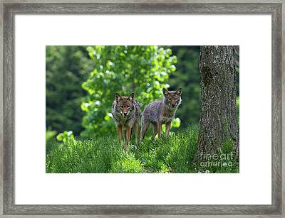 Lurking On The Trail... Framed Print