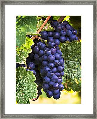 Luscious Grape Cluster Framed Print