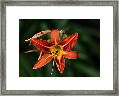 Luscious Tiger Lily Framed Print