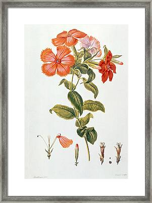Lychnis Coronaria Framed Print by Leopold Trattinick