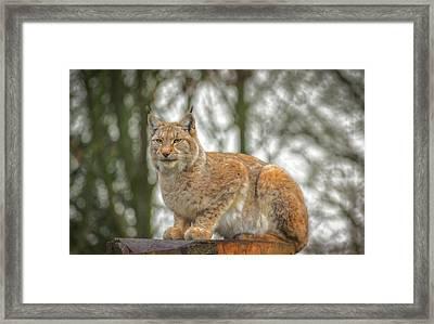Lynx. Framed Print by Angela Aird