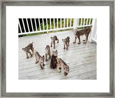 Lynx Family Portrait 11x14 Framed Print