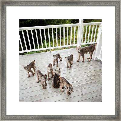 Lynx Family Portrait Framed Print