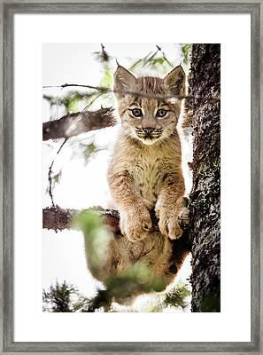 Lynx Kitten In Tree Framed Print
