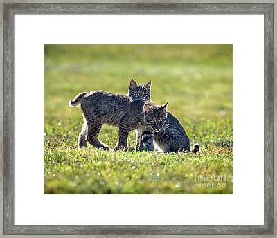 Lynx Kittens Framed Print by Amy Porter