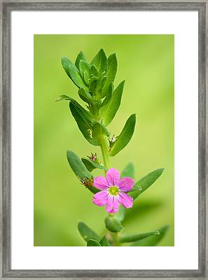 Lythrum Junceum Framed Print by Yuri Peress
