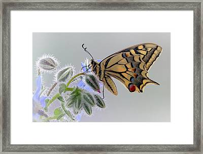 Macaon Framed Print by Jimmy Hoffman