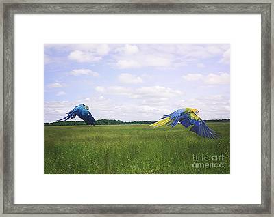 Macaws Flying Together Framed Print by Melissa Messick