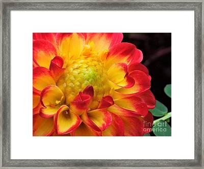 Macro Dahlia Framed Print