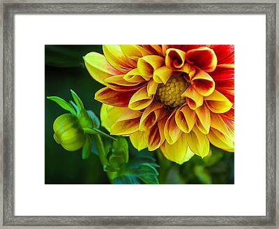 Framed Print featuring the photograph Macro Dahlia by Julie Palencia