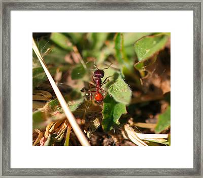 Macro Of A Red Ant Framed Print