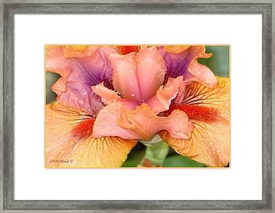 Macro Of Bearded Iris Framed Print by Sonali Gangane