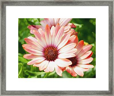 Macro Pink Cinnamon Tradewind Flower In The Garden Framed Print