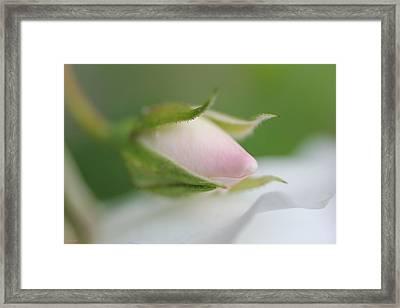 Macro Pink Rosebud Flower Framed Print by Jennie Marie Schell