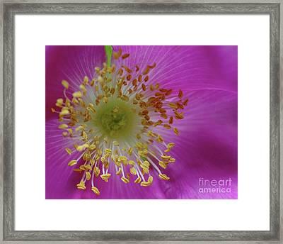 Macro Rosehip Bloom Framed Print
