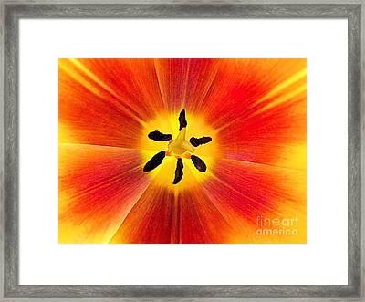 Macro Tulip Framed Print by Elizabeth Dow