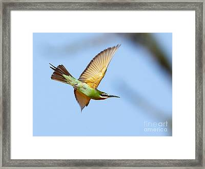 Madagascar Bee Eater In Flight Framed Print