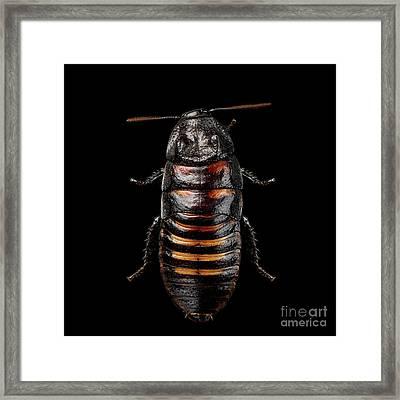 Madagascar Hissing Cockroach Framed Print by Sergey Taran
