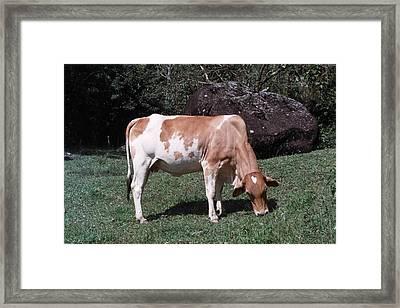 Mademoiselle Cow Framed Print by David Cardona