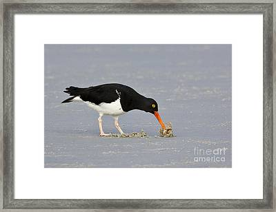 Magellanic Oystercatcher And Crab Framed Print by Jean-Louis Klein & Marie-Luce Hubert